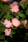 Dogrose Photos - Wild Rose by Sarka Olehlova
