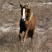 Equine Photo Posters - Wild Spirit Poster by East Coast Barrier Islands Betsy A Cutler