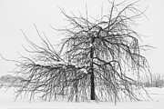 Snow Tree Prints Posters - Wild Springtime Winter Tree Black and White Poster by James Bo Insogna
