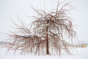 Snow Tree Prints Metal Prints - Wild Springtime Winter Tree Metal Print by James Bo Insogna