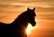 Wild Horse Prints - Wild Stallion at Sunrise Print by Carol Walker