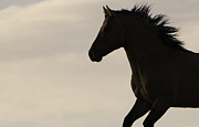 Wild Horses Prints - Wild Stallion Runs at Sunrise Print by Carol Walker