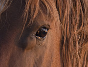 Wild Horses Prints - Wild Stallions Eye Print by Carol Walker