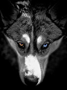 Husky Photo Framed Prints - Wild Stare Framed Print by Karen Lewis