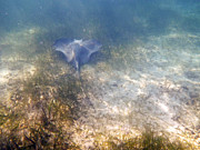 Free Diving Prints - Wild sting ray Print by Eti Reid