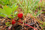 Wild Strawberries Framed Prints - Wild Strawberries Framed Print by Jim Garrison