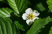 Vitamine Photos - Wild strawberry flower - Feature 2 by Alexander Senin
