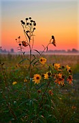 Julie Dant - Wild Sunflowers at Dawn