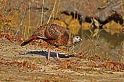 Wild Turkey Print by Al Powell Photography USA