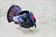Wild Turkey Artistic Print by Dan Friend