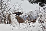 Elaine Mikkelstrup - Wild Turkey in Winter