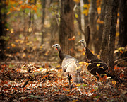 Turkeys Framed Prints - Wild Turkey Framed Print by Jai Johnson