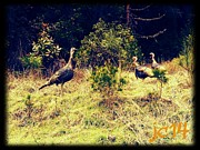 Wild Turkeys Print by Jeremiah Colley