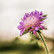 Hannes Cmarits - wild violet