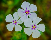 Gordon H Rohrbaugh Jr - Wild White Phlox