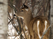 James Peterson - Wild White-tailed Deer