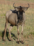 Kenya Photos - Wildebeest Looking at You by Tom Wurl