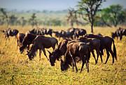 Wildebeests Herd. Gnu On African Savanna Print by Michal Bednarek