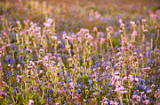 Wildflower Dusk Print by Anne Gilbert