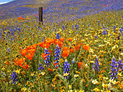 Flower Display Prints - Wildflower Heaven Print by Lynn Bauer