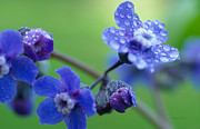 Blue Flowers Photos - Wildflower in the Rain by Kathy Yates