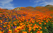 Ca Poppies Prints - Wildflower Jackpot - Fine Art by Lynn Bauer Print by Lynn Bauer
