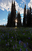 Fir Trees Photo Originals - Wildflower Sunburst by Mike  Dawson