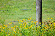 Barbed Wire Fences Photos - Wildflowers and Barbed Wire Fence  by Steve Case