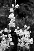 Diana Shay Diehl - Wildflowers/BW1