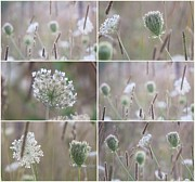 Impressionism Acrylic Prints Photos - Wildflowers collage 14 by France Laliberte