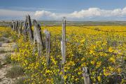 Barbed Wire Fences Acrylic Prints - Wildflowers Surround Rustic Barb Wire Acrylic Print by David Ponton