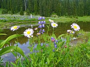 Mount Washington Mixed Media Prints - Wildflowers - Tipsoo Lake - Mount Rainier National Park Print by Photography Moments - Sandi