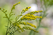 Goldenrod Flower Framed Prints - Wildflowers Yellow Goldenrod Framed Print by Christina Rollo
