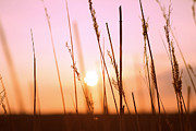 Grass Pyrography Prints - Wildgrass Sunset Print by David Schoenheit