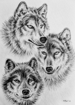 Brave Drawings Posters - Wildlife collection-wolves Poster by Andrew Read
