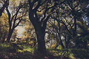 Oak Trees Prints - Wildly and Desperately My Arms Reached Out to You Print by Laurie Search