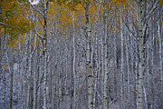 Jeremy Rhoades - Wildridge Aspens