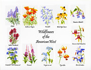 Tiger Illustration Posters - Wilflowers of the American West Poster by Sharon Freeman