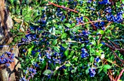Grape Vineyards Prints - Willamette Valley Blue Berries 17033 Print by Jerry Sodorff