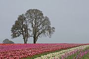 Nick  Boren - Willamette Valley Tulips