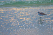 Bird At Sea Photos - Willet At Dusk by Steven Ainsworth