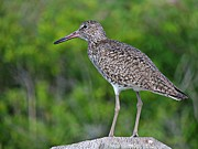 Rump Posters - Willet Shorebird Poster by Marcia Lee Jones