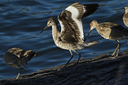 Stretching Wings Framed Prints - Willet Stretching Wings At Sundown Framed Print by Phil Johnston