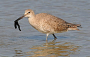 Dave Mills - Willet With Worm