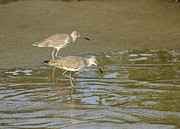 Louise Heusinkveld - Willets Feeding at...