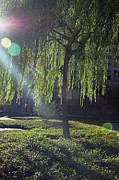Weeping Willow Photos - Willow Magic by Suzanne Gaff