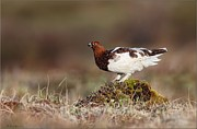 Daniel Behm Art - Willow Ptarmigan in Evening Light by Daniel Behm