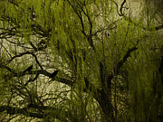Weeping Willow Photos - Willow Tree by Diane Schuster