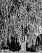 Looming Digital Art Framed Prints - Willow Tree Framed Print by Paul Gioacchini