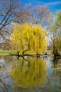 Willow Tree Posters - Willow tree water reflection Poster by Matthias Hauser